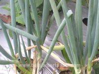 cara budidaya daun bawang