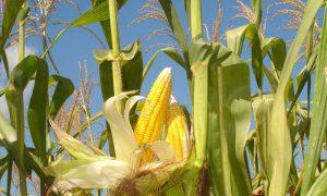 cara menanam jagung hibrida