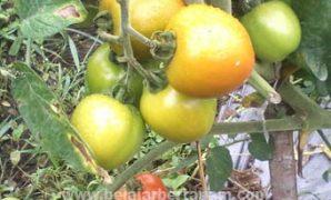 cara menanam tomat yang benar