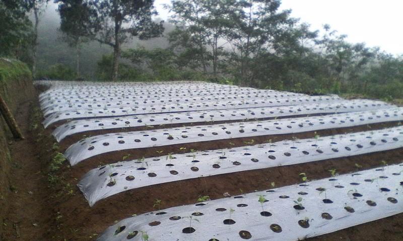 Pengolahan lahan tanaman cabai