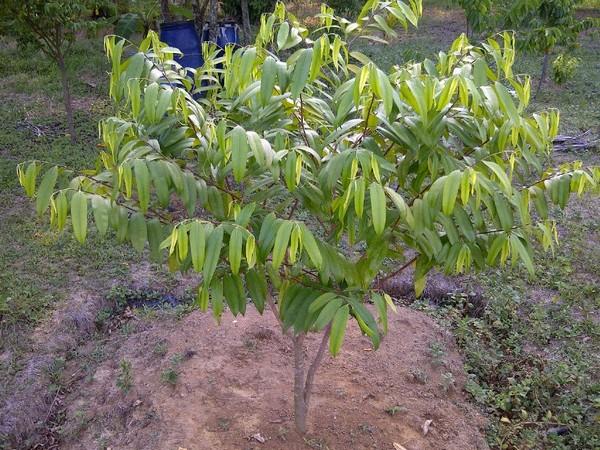 Manfaat Pohon Gaharu dan Cara Budidayanya