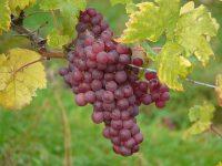 Spesies Anggur, Manfaat dan Seni Menanam Anggur