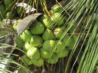 Potensi Sosial dan Ekonomi Tanaman Kelapa