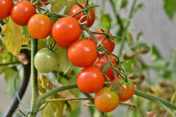 Tanaman Tomat Mudah, Murah, dan Manfaat