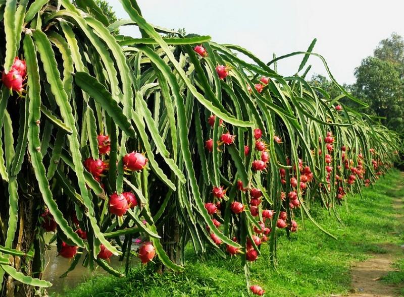 budidaya tanaman buah naga